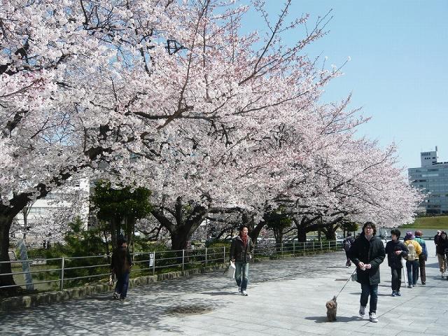 """""""SAKURA"""" high season in Fukuoka"""