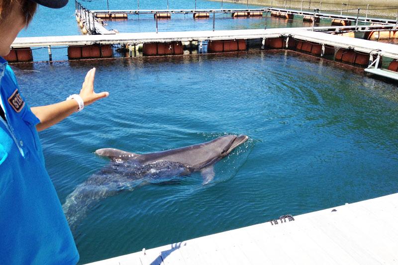 Salah satu lumba-lumba berenang di Iki Dolphin Park & Resort. Pelatih di sebelah kiri memberi isyarat kepada lumba-lumba dengan tangannya.