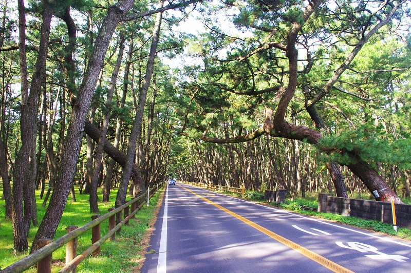 This is Niji-no-Matsubara, a famous pine forest in Karatsu. A straight path runs through the vast pine forest.