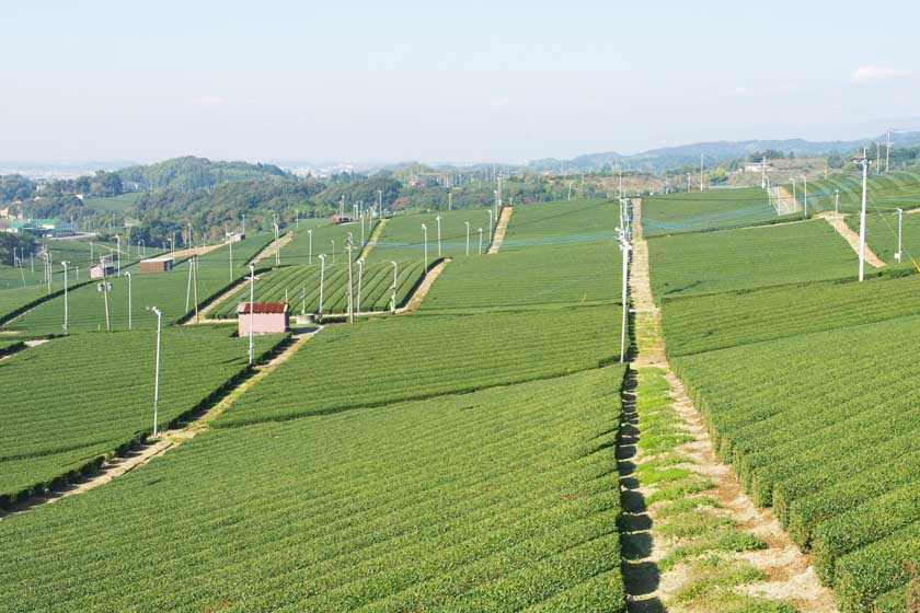 This is Yame Central Tea Garden. The scenery is spectacular, with green tea fields spreading out endlessly.